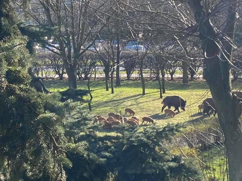 Dziki można spotkać nie tylko w Toruniu, lecz także w innych, polskich miastach.