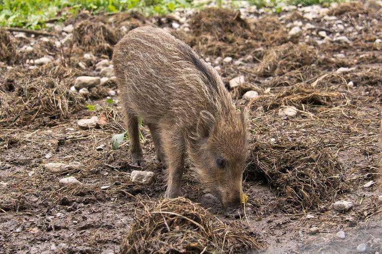 Koszmar trwa. W Warszawie znaleziono trzy padłe dziki - miały ASF