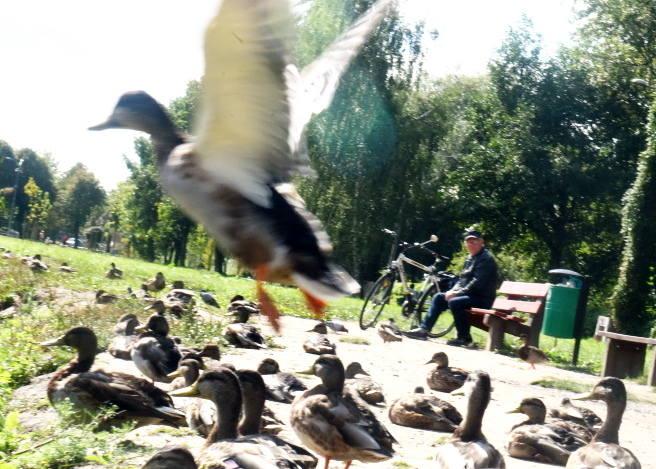 W parku Sulecha spotkać można kaczki i inne ptaki. Po rewitalizacji miejsce to ma się stać jeszcze bardziej atrakcyjne. Wypięknieją inne zielone miejsca