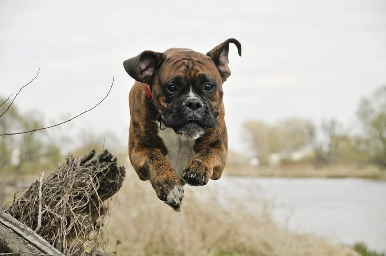 Ministerstwo Finansów podało, że w 2019 roku opłata od posiadania psów nie może przekraczać 123,18 złotych rocznie od jednego czworonoga.Gminy same decydują,