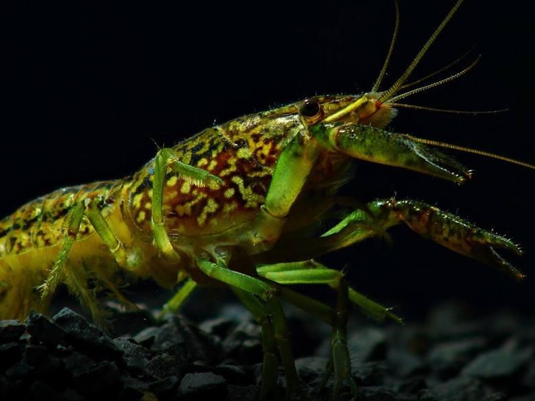 Rak marmurkowy (Procambarus virginalis)