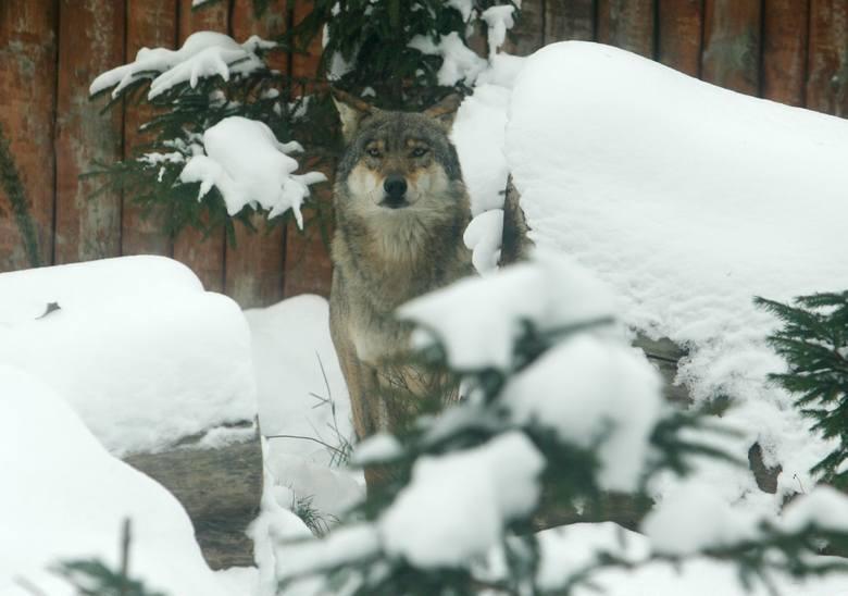 Zdaniem ekologów Fundacji Dziedzictwo Przyrodnicze nie ulega wątpliwości, że zabijanie wilka ma miejsce w Polsce i odbywa się nie tylko za pomocą wnyków,