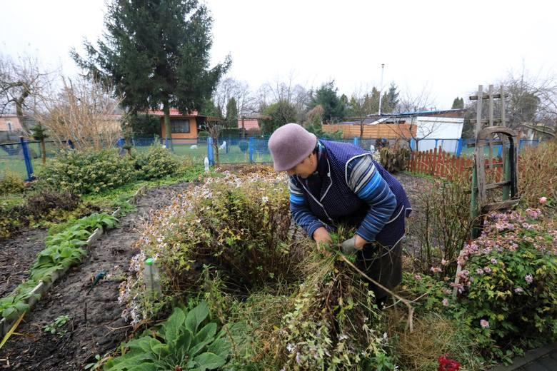Działkowcy chcą wycinać drzewa bez zezwolenia. Sprzeciwia się temu Koalicja ZaZieleń Poznań