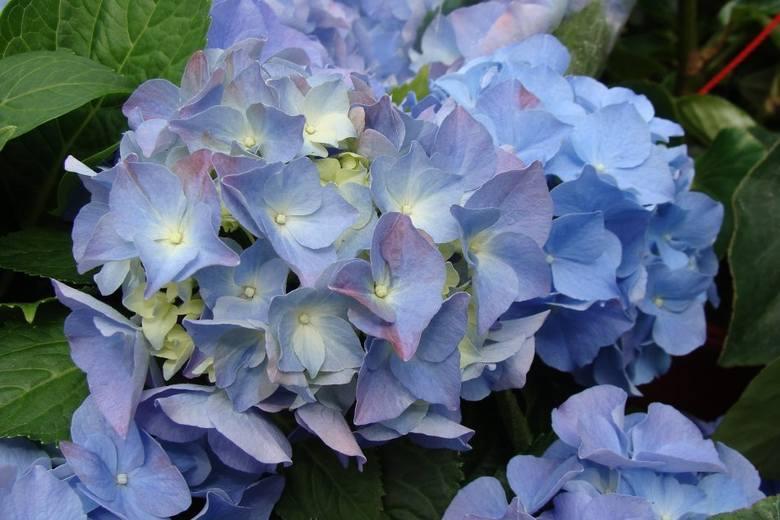 Im bardziej kwaśna ziemia (o niższym pH), tym kwiaty hortensji ogrodowej będą bardziej niebieskie.