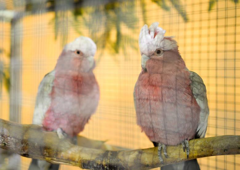Przez dwa dni w Szkole Podstawowej nr 11 w Przemyślu trwała wystawa kanarków, papug i ptaków egzotycznych. Wydarzenie zorganizował Związek Hodowców Kanarków
