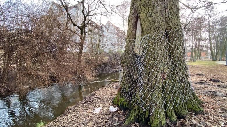 Bobry zadomowiły się w Gorzowie. Podcinają drzewa przy Kłodawce