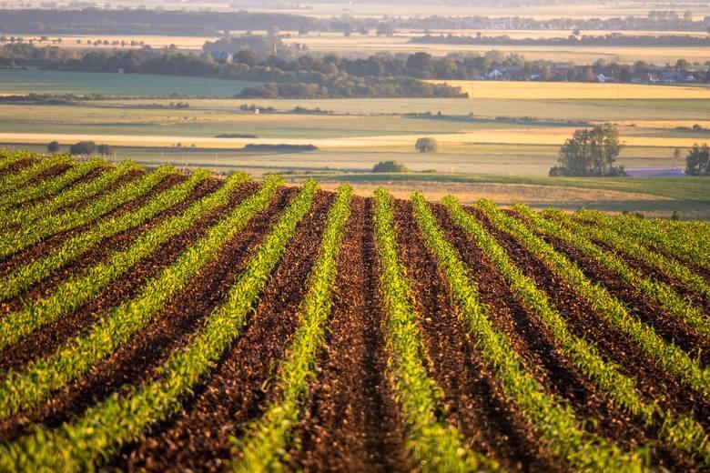 Co uprawia polski rolnik? Powierzchnia poszczególnych upraw w kraju
