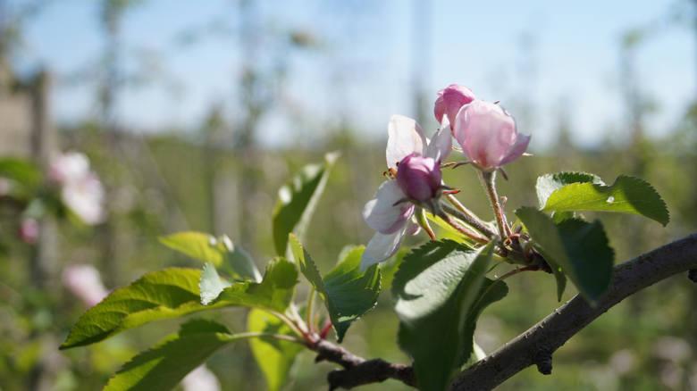 Szkody spowodowane mrozami objawiają się m.in. uszkodzonymi pąkami, a później także gorszą jakością jabłek. To właśnie na samym początku wiosny, jabłonie