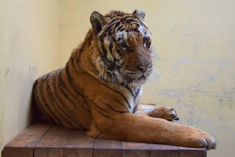 Dziś tygrysy: Merida, Toph, Gogh, Aqua, Softi, Kan i Samson, bo tak nazwali je pracownicy zoo, dochodzą do siebie. Wszystkie są nerwowe i potrzebują