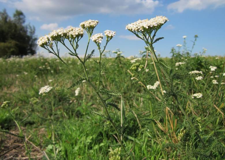 Kwiaty krwawnika pospolitego łatwo rozpoznać po ich charakterystycznej baldachowatej budowie. Delikatne listki tej rośliny są jadalne – mają ciekawy,