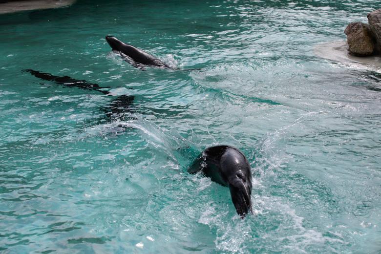 W maju i czerwcu rozpoczyna się okres rozrodczy uchatek. Można je wtedy obserwować wokół basenu.