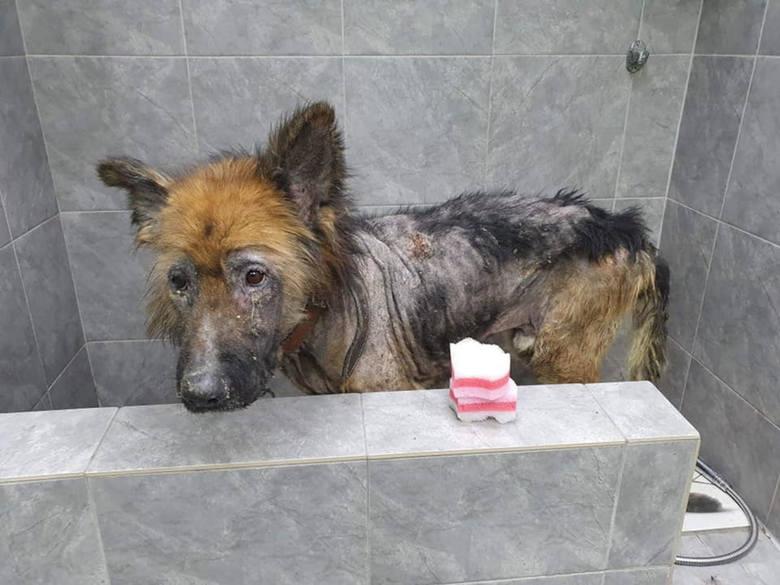 Nero nabiera sił. Czy właściciel psa odpowie za znęcanie się nad zwierzęciem? Policja wszczęła postępowanie