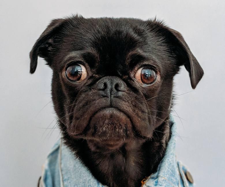 To choroba pasożytnicza, którą, niestety, niełatwo się leczy. Wywołuje ją glista psia lub glista kocia.Sposoby zakażenia: kontakt z odchodami (sprzątając