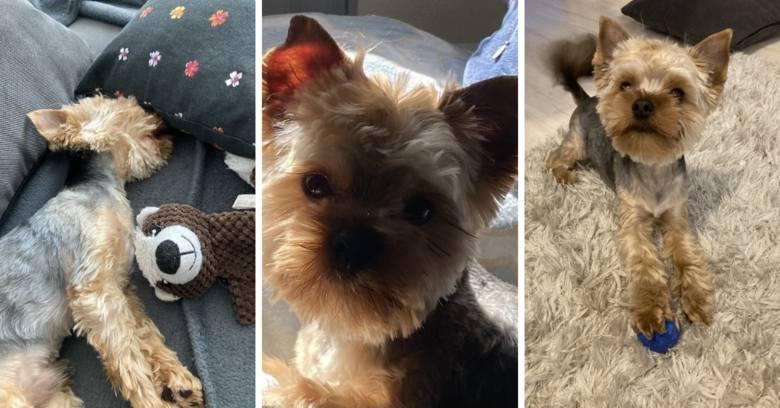 Właściciele yorka Charliego odzyskali go po ponad pięciu miesiącach poszukiwań!