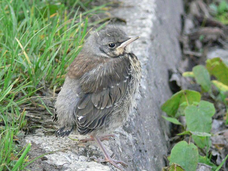 Ciężki czas dla młodych ptaków