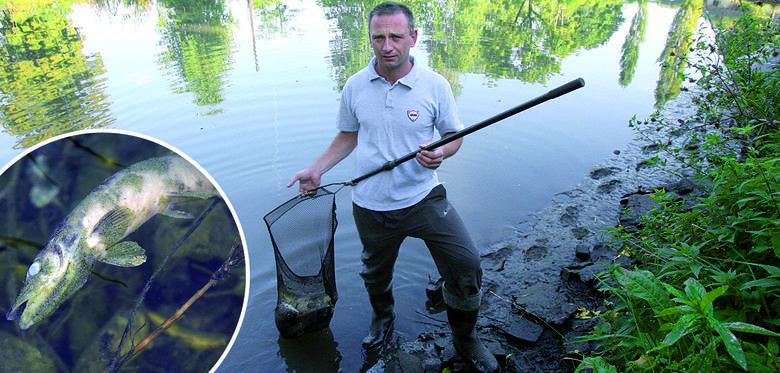 Ryby duszą się w ciepłych kałużach. Będzie mniej karpi na świętaRyby pływają w gęstej, ciepłej zupie, w której nie ma tlenu.