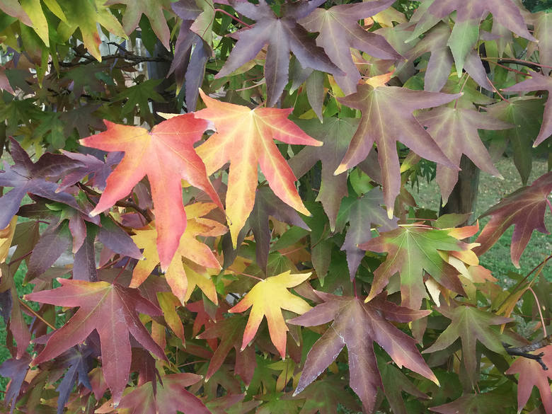 Ambrowiec balsamiczny (zwany też amerykańskim) to drzewo niezbyt jeszcze popularne w Polsce, ale warto się nim zainteresować. Nie ma specjalnych wymagań,