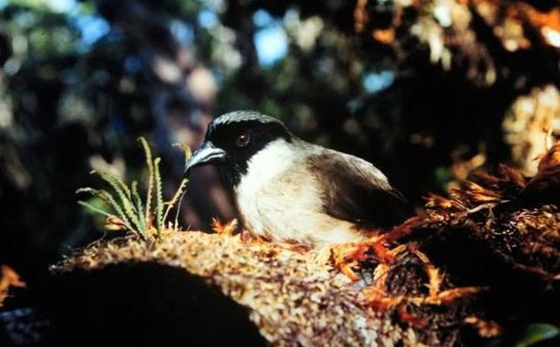 To jeden z gatunków, który bezpowrotnie zniknął w 2018 roku. Występował endemicznie na wyspie Maui na Hawajach.