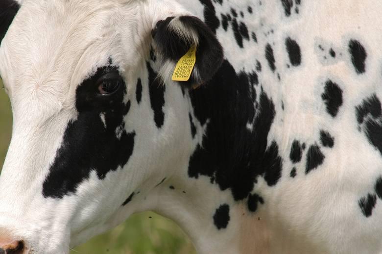PFHBiPM: Polska hodowla bydła mlecznego nie wykorzystuje potencjału