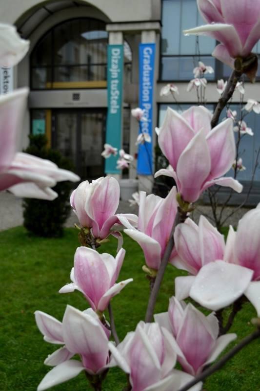 Na wzgórzu zamkowym <br /> Magnolie można też zobaczyć poza wytyczonym szlakiem. Piękne krzewy rosną m.in. na cieszyńskim wzgórzu zamkowym. <br /> Na zamku najwięcej jest magnolii Soulange'a - tych najbardziej w Cieszynie popularnych, których kwiaty charakteryzują się różowym odcieniem. Co...