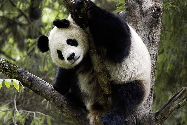 Panda Wielka (Ailuropoda melanoleuca) Od czasu utworzenia WWF w 1961 roku panda jest symbolem działań na rzecz ochrony przyrody. Na wolności, w Chinach