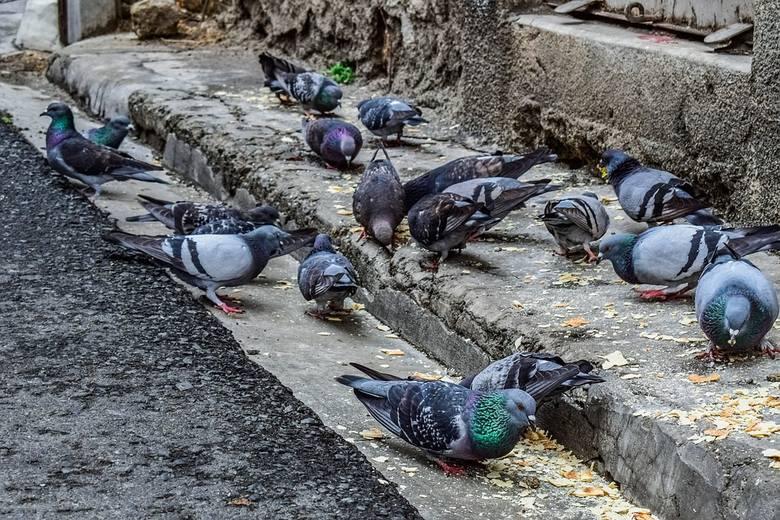 Jak najszybciej usunąć gniazda…… ale tylko same gniazda i to w momencie, gdy gołębie je dopiero budują – czyli przed tym gdy ptaki zdążą złożyć jajka.W