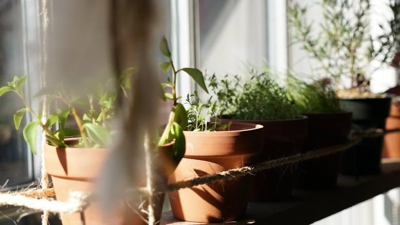 Trujące rośliny. Mogą wywołać wysypkę, duszności, ból głowy. Sprawdź, czy masz je w domu! Trujące rośliny. Często mamy je w swoich domach i nawet nie