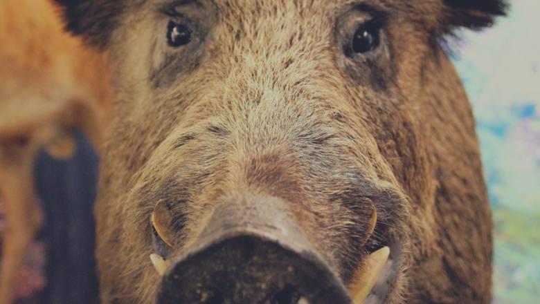 Wilk, żmija, dzik - Jak się zachować, gdy spotkasz dzikie zwierzę? Zobacz jak uniknąć ataku!