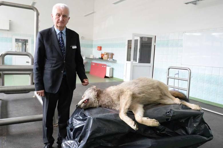 Profesor Józef Nicpoń z Uniwersytetu Przyrodniczego prezentuje martwego wilka, który będzie badany przez naukowców