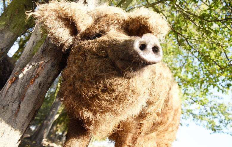 Kędzierzawe świnie mangalice, kozy o azjatyckich korzeniach, rasowe krowy, piękne konie, ozdobne ptaki – to bohaterowie zdjęć naszego fotoreportera.