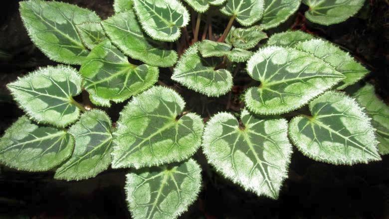 Zobaczcie w dalszej części galerii popularne rośliny, które mogą wywoływać u nas podrażnienie skóry, zapalenie spojówek, wymioty a nawet bóle głowy.