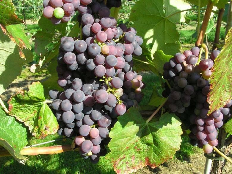 W Sandomierzu producent winorośli musi uchwycić moment, w którym cukrów jest już wytworzonych powyżej dwudziestu procent, ale jeszcze kwasy się nie rozłożyły.