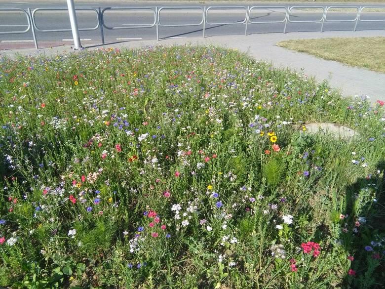 Kwietna łąka na skrzyżowaniu przy obwodnicy w Krośnie. To lepsze rozwiązanie i zdrowsze niż zwykły trawnik