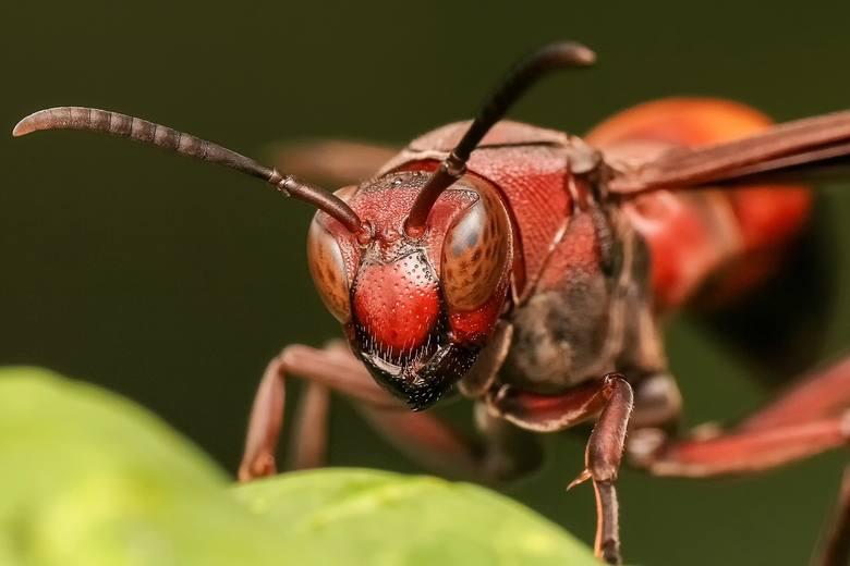 Tych owadów jeszcze niedawno w Polsce nie było. Teraz zagrażają naszemu zdrowiu! Ich ukąszenia mogą być poważne w skutkach
