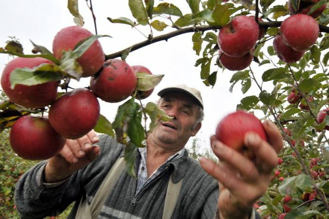 Wiesław Dziewieszonek doskonale radzi sobie ze zbiorem jabłek, a owocom nie można odmówić urody