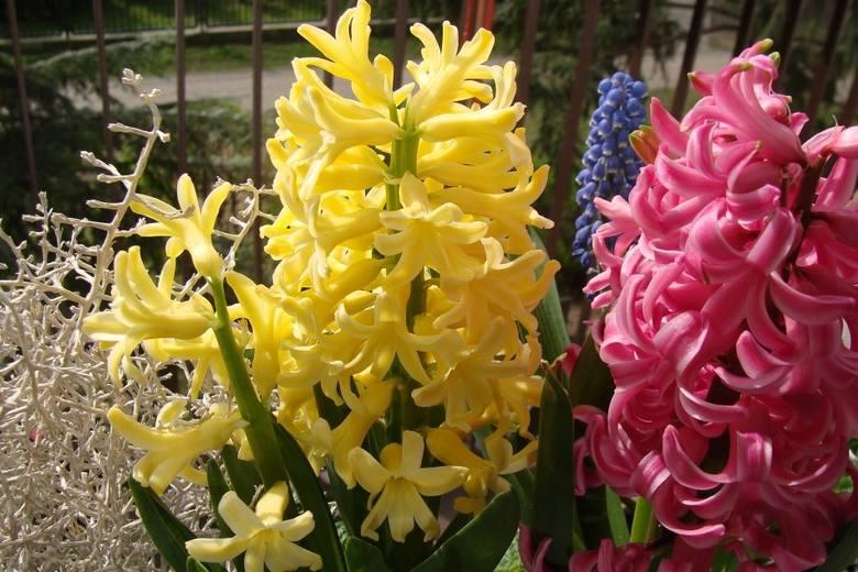 Hiacynty to bardzo okazałe rośliny cebulowe. Ich kwiaty nie są duże, ale są zebrane nawet po kilkadziesiąt na jednej łodydze i tworzą wspaniały kwiatostan.