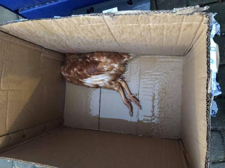 Kury zapakowane w kartony. 30 padło w transporcie