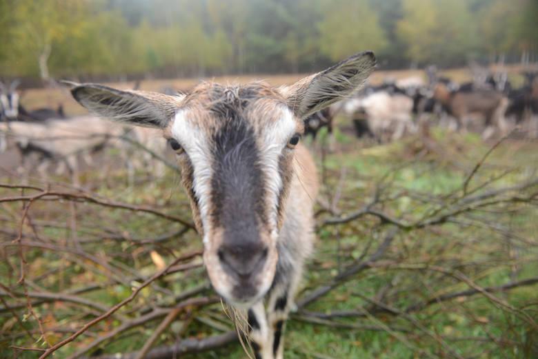 Skradziono sto kóz we wsi Łubno niedaleko Dynowa