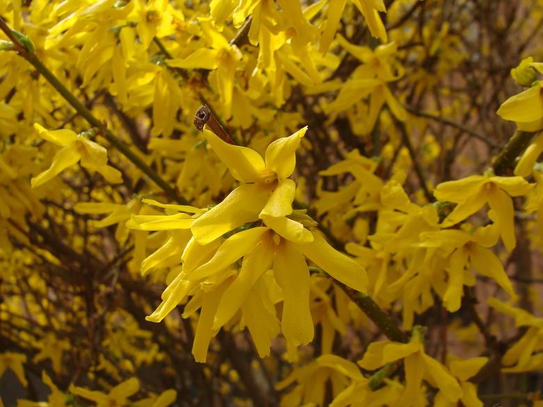 To chyba jeden z najbardziej znanych kwitnących krzewów. Wczesną wiosną – często już w marcu – bywa cała pokryta żółtymi, lejkowatymi kwiatami. Liście