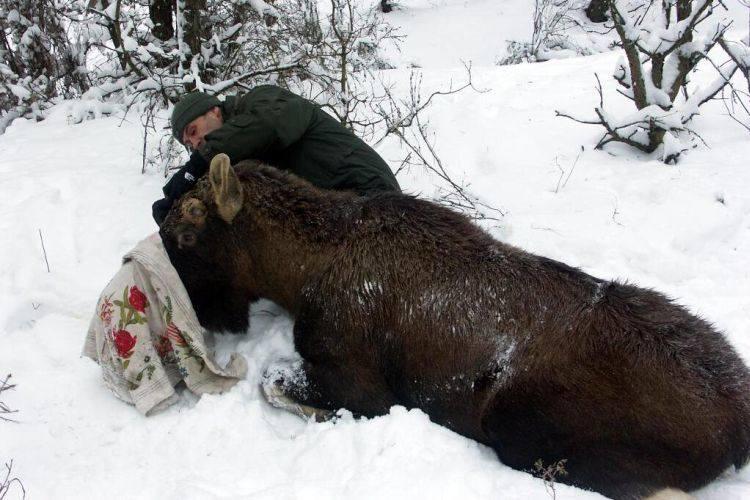 Nadleśnictwo Knyszyn. Leśnicy założyli obroże łosiom (zdjęcia)