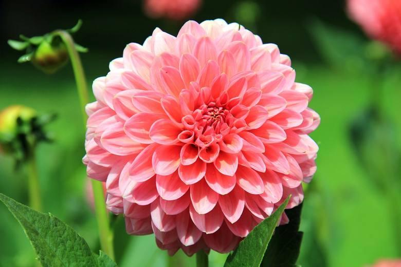 To imię kojarzy się jednoznacznie z pięknym kwiatem, ale sprawa jest nieco bardziej skomplikowana. Wywodzi się ono prawdopodobnie od arabskiego lub hebrajskiego