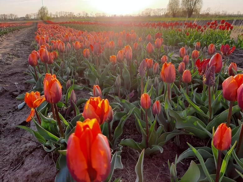 Na polu w Cedrach Wielkich wyrosło pole tulipanów. Można zwiedzać, rwać i kupować...