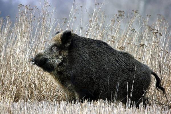 Dziki coraz częściej wchodzą na tereny zamieszkane przez ludzi.
