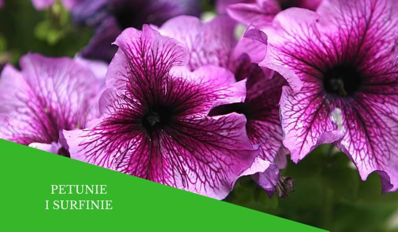 Petunie mają mnóstwo kolorów, wielkości i odmian. Do nich należą m.in. popularne surfinie (to petunia długopędowa). Decydując się na uprawę petunii,