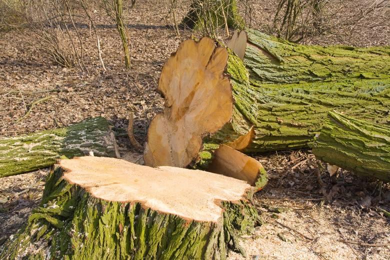Chcesz wyciąć parę drzew z działki i sprzedać drewno? Najpierw muszą się na to zgodzić urzędnicy. Jak głosi ustawa o ochronie przyrody, usuwanie drzew