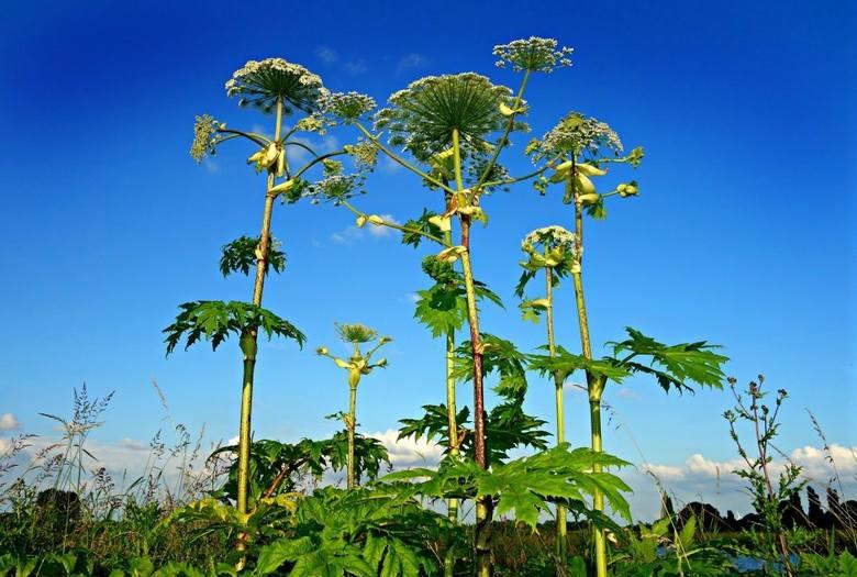 Parzące rośliny