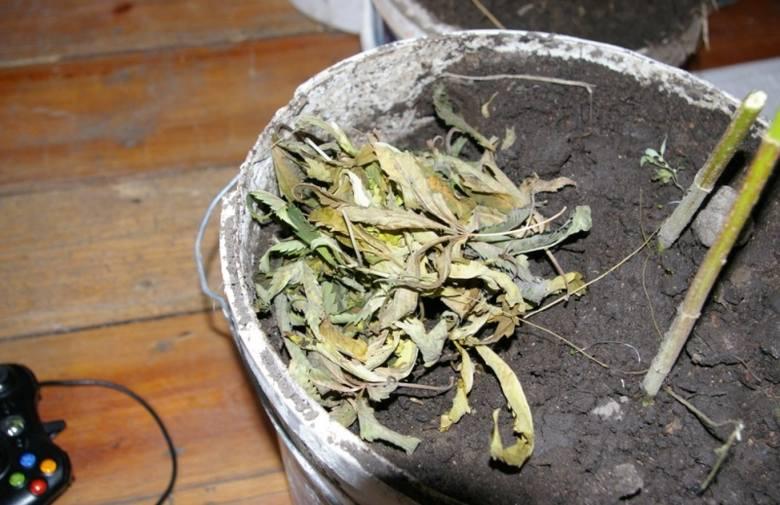 Dojlidy Górne: Domowa plantacja marihuany (zdjęcia)