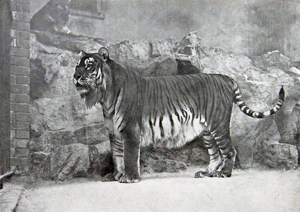Gatunek tygrysa żyjący na terenach Iraku, Rosji, Gruzji i Kazachstanu wyginął na początku lat 70. XX wieku. Przyczyniło się do tego w głównej mierze