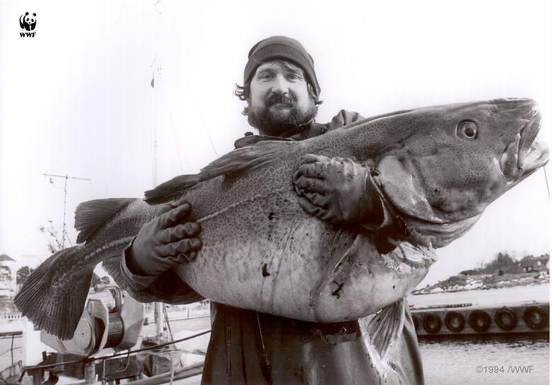 Zdjęcie z 1994 r. Jeszcze nie tak dawno dorsz, który miał 1,5 metra, nie należał do rzadkości. Dziś coraz trudniej trafić na taki okaz