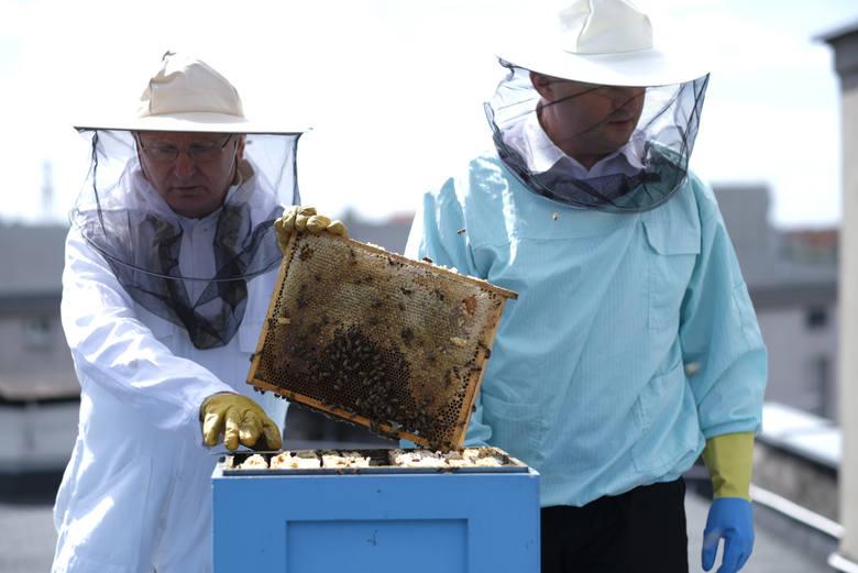 Pszczoły hodowane są także w innych miastach. Tutaj miodobranie (z udziałem marszałka województwa) na dachu Urzędu Marszałkowskiego w Toruniu.
